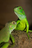 Green iguanas Stock Photo