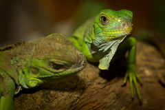 Green iguanas Stock Image