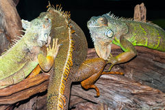 Green iguanas on tree branches Stock Photography