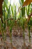 Green immature corn Stock Photos