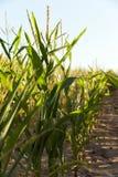Green immature corn Royalty Free Stock Photography