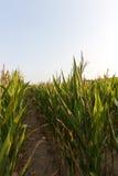 Green immature corn Royalty Free Stock Image