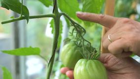 Green immature ecological natural tomato. Hanging on the branch in greenhouse. Woman checking shape of vegetable stock footage