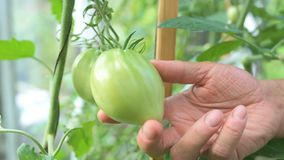 Green immature ecological natural tomato. Hanging on the branch in greenhouse. Woman checking shape of vegetable stock video