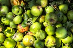 Green immature small apples stock photos