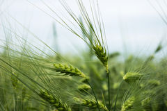 Green immature wheat. A field of wheat. Many grain plants.  Stock Photos