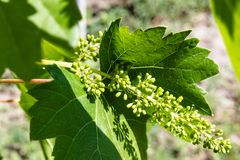 Green, immature, young grapes in the vineyard, grapes, growing vines in the yard stock image