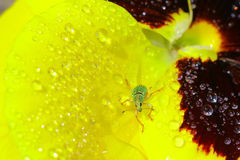 Green Immigrant Weevil Stock Photo