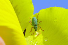 Green Immigrant Weevil Stock Images