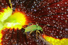 Green Immigrant Weevil Stock Photography