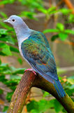 Green imperial pigeon Royalty Free Stock Photo
