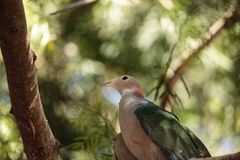 Green Imperial pigeon called Ducula aenea Stock Images