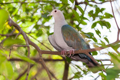 The Green Imperial Pigeon catch on the tree Stock Images