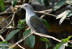 Green Imperial Pigeon (Ducula aenea) Royalty Free Stock Photos