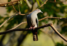 Green Imperial Pigeon (Ducula aenea). Beautiful Green Imperial Pigeon (Ducula aenea) standing on branch Royalty Free Stock Image