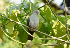 Green Imperial Pigeon (Ducula aenea) Stock Images