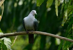 Green Imperial Pigeon Ducula aenea. Beautiful Green Imperial Pigeon Ducula aenea standing on branch Royalty Free Stock Image