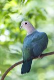 Green imperial pigeon Stock Images