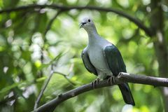 Green imperial pigeon Royalty Free Stock Photography