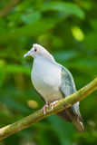 Green Imperial Pigeon Royalty Free Stock Photos