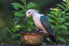 Green imperial Pigeon in Minneriya national park, Sri Lanka Royalty Free Stock Photography