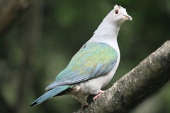 Green Imperial Pigeon Royalty Free Stock Images