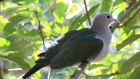 Green imperial pigeon Sleep on branches stock video