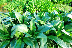 Green indian lettuce in growth Royalty Free Stock Photography