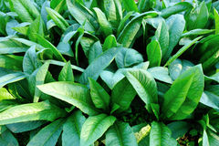 Green indian lettuce in growth Royalty Free Stock Image