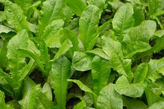 Green indian lettuce plants stock images