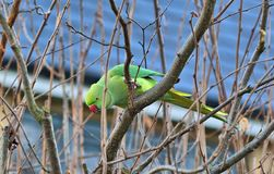 Green Indian ring necked parakeet Royalty Free Stock Photo