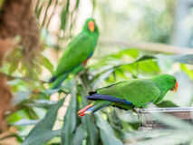 Green Indian Ringneck Parakeet, Colorful Parrot in the Park Royalty Free Stock Photography