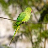 Green Indian Ringnecked Parakeet parrot Royalty Free Stock Photos