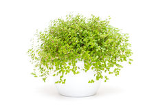 Green indoor plant baby`s tears Royalty Free Stock Images