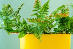 Green indoor plant in yellow pot on a light blue background.  Royalty Free Stock Photography