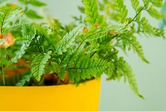 Green indoor plant in yellow pot on a light blue background.  Stock Image