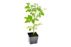 Green indoor tomatoes in the plastic pot Royalty Free Stock Images