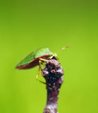 Green insect Stock Image