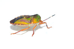 Green Insect Royalty Free Stock Photos
