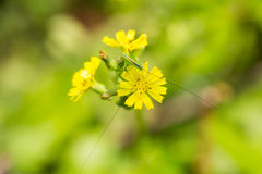 Green insect. Standing on yellow flower stock photography