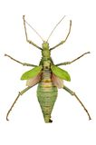 Green insect. (cyphocrania gigas) with clipping path stock photography