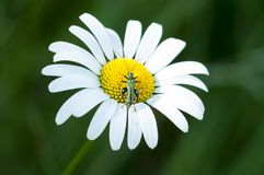 Green insect on daisy. With green background Royalty Free Stock Photography