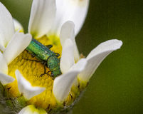 Green insect in flower. Green insect on yellow stamen of flower with white petals Royalty Free Stock Photo