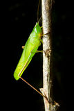 Green insect grasshopper on a branch Royalty Free Stock Photography