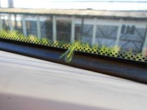 Green Insect. In Front of a Window Royalty Free Stock Photos