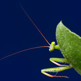 Green insect mantis on blue bacground Stock Photography