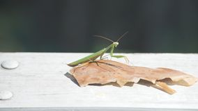 Green Insect Praying Mantis. Mantis green insect sits on an oak leaf and basks in the sun on a warm autumn day stock video footage