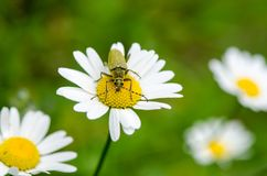 Green Insect weevil sitting on camomile flower field stock images