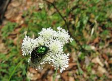 A green insect on a white flower Stock Photography