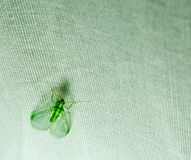 Green insect with wings closeup on white cloth Stock Photography